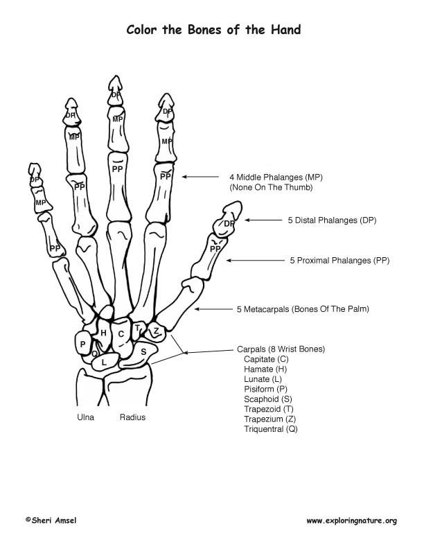 Bones Of The Hand Coloring Nature Human Body