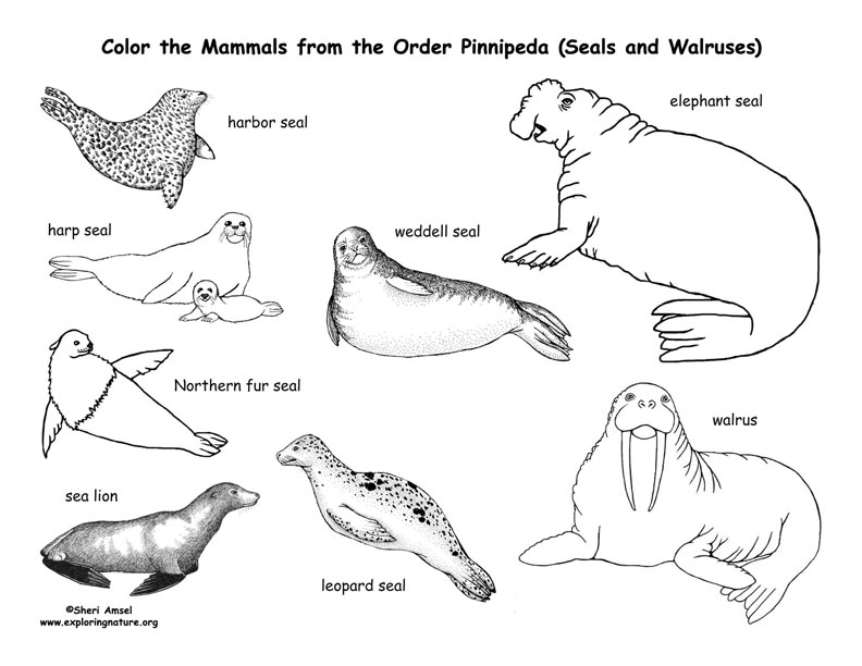 ocean seals coloring pages - photo#20