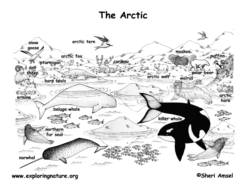 Arctic Animals Labeled Coloring Nature