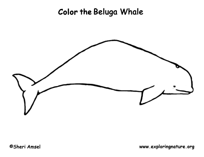 Whale Coloring Pages Pdf : Whale beluga coloring nature