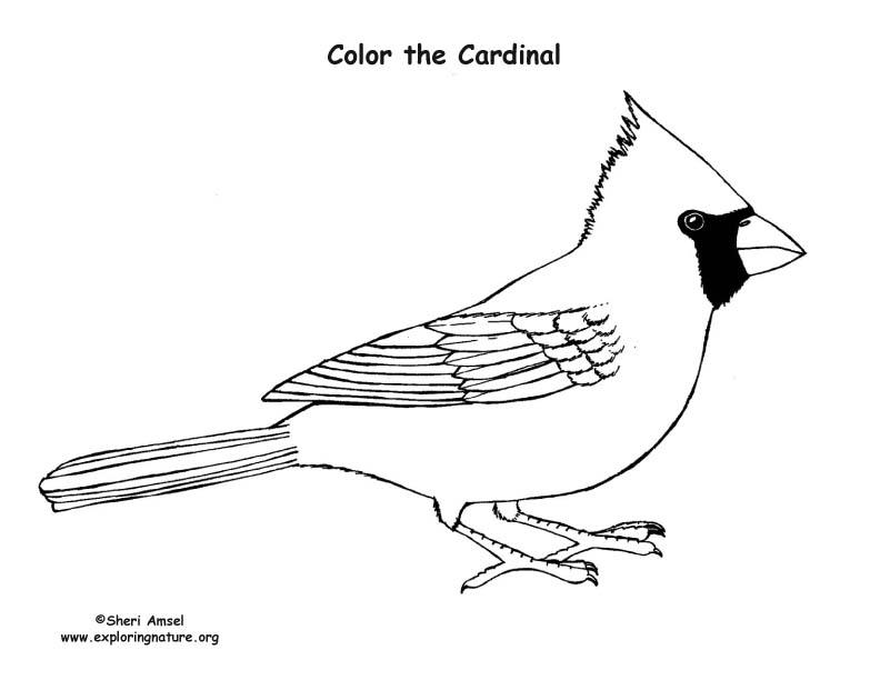 Cardinal Coloring Nature Cardinal Bird Coloring Page