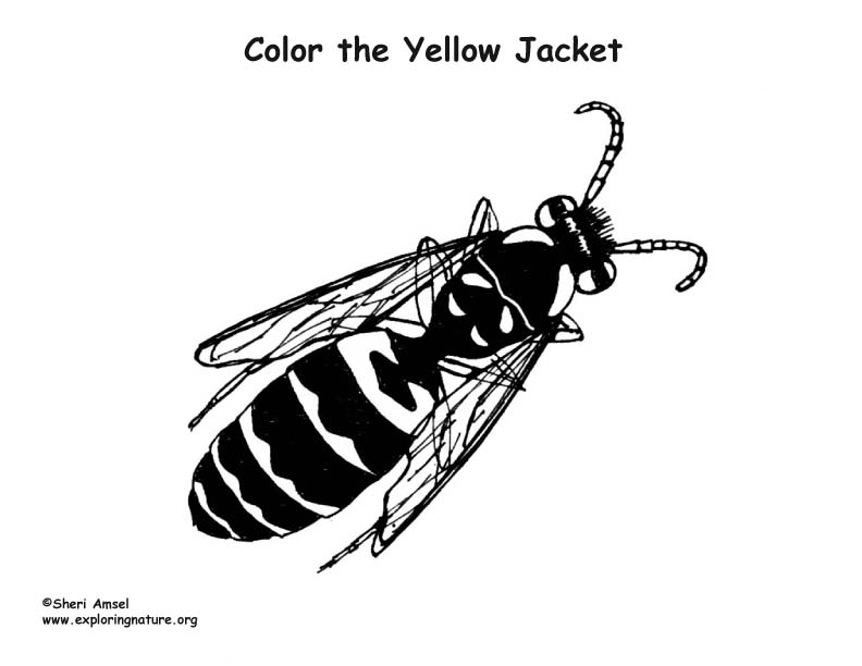 Yellow Jacket Coloring Nature Yellow Jacket Coloring Page