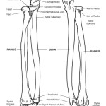 Radius and Ulna (Forearm) Bony Features