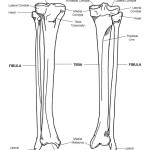 Tibia and Fibula (Calf) Bony Features