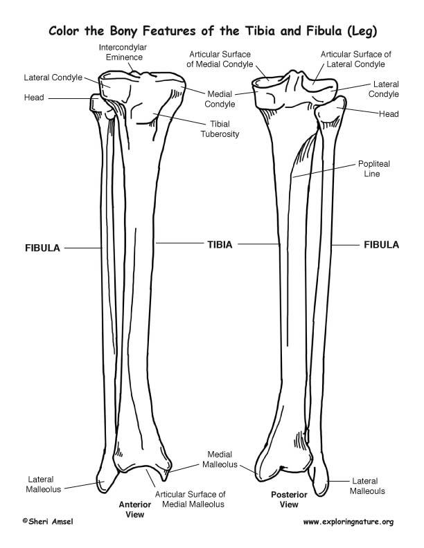 Tibia And Fibula Diagram Blank | Diagram