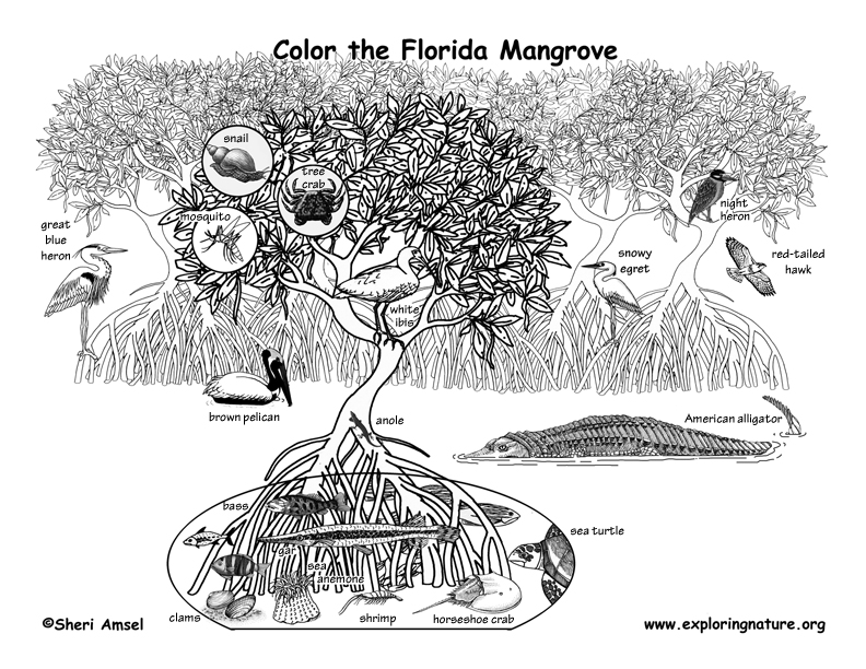 florida mangrove and wildlife coloring nature. Black Bedroom Furniture Sets. Home Design Ideas