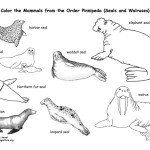 Seals and Sea Lions (Pinnipeds) Coloring Page