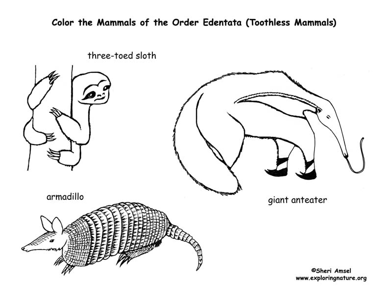 Sloths Anteaters amp Armadillo Toothless