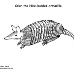 Armadillo (Nine-banded)