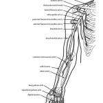 Arteries of Upper Limb (Arm)