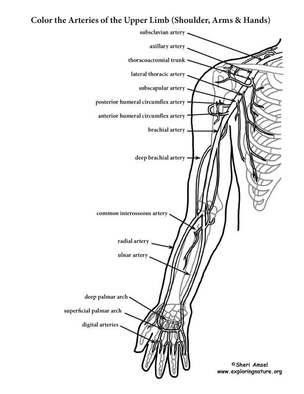 Arteries of Upper Limb (Arm) – Coloring Nature
