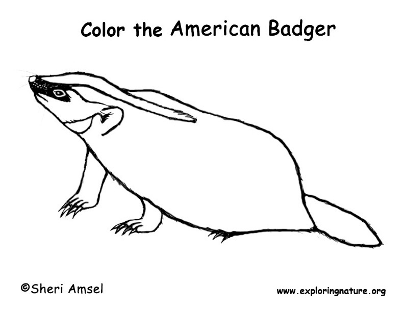 american badger coloring pages | Badger – Coloring Nature