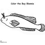 Bay Blennie