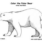 Bear (Polar)