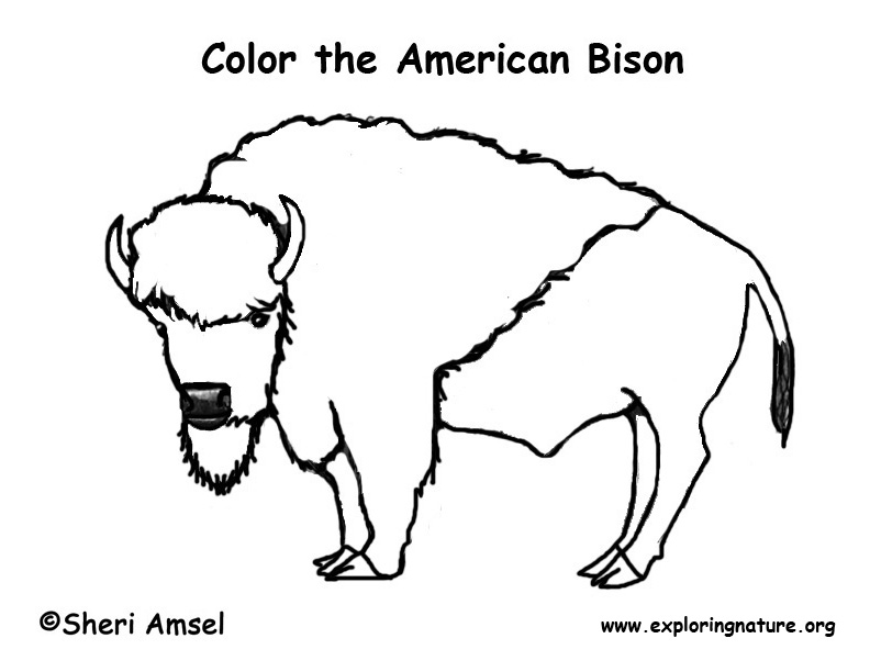 Bison (American) - Coloring Nature