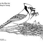 Blue Jay Feeding Young