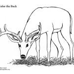Buck (Male Deer)
