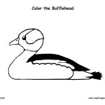 Duck – Bufflehead