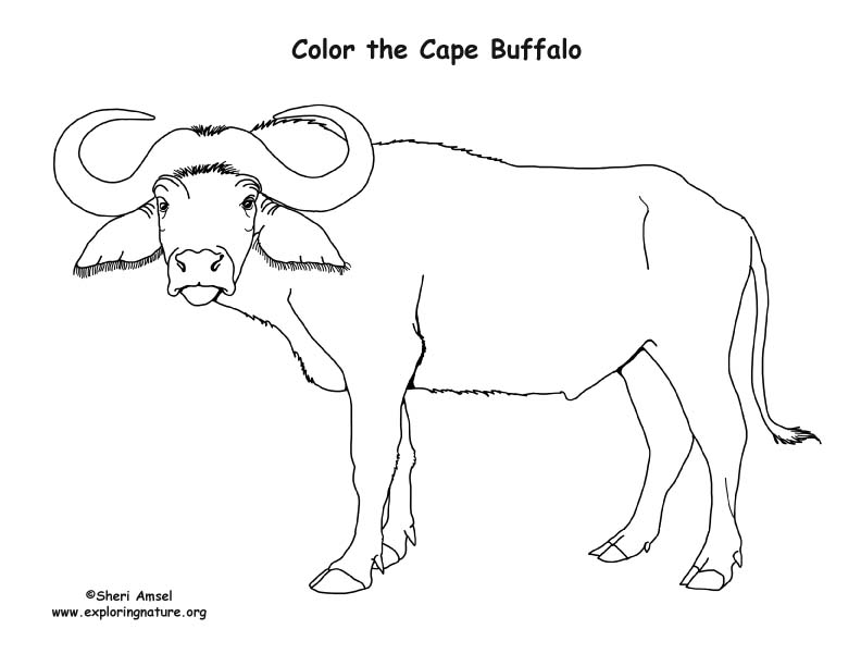 Cape Buffalo Coloring Nature