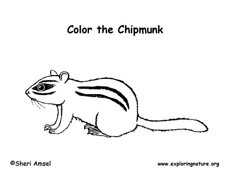 Chipmunk (Eastern) – Coloring Nature
