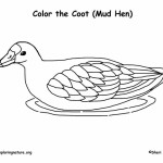 Coot (American) or Mud Hen