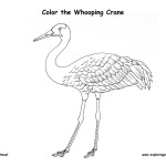 Crane (Whooping)