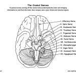 Cranial Nerves of the Brain