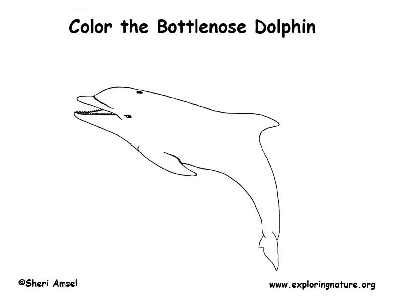 Dolphin bottlenose coloring nature for Bottlenose dolphin coloring page