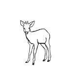 Duiker (Deer)