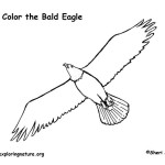 Eagle (Bald) Soaring