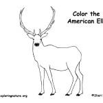 Elk (American) or Wapiti