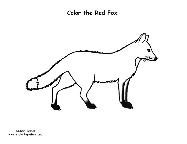Fox red coloring nature for Red fox coloring page