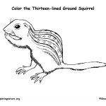Ground Squirrel (Thirteen-lined)