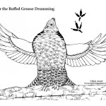 Grouse Drumming