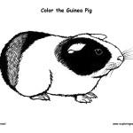 Guinea Pig (Cavy)