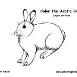 Hare (Arctic)