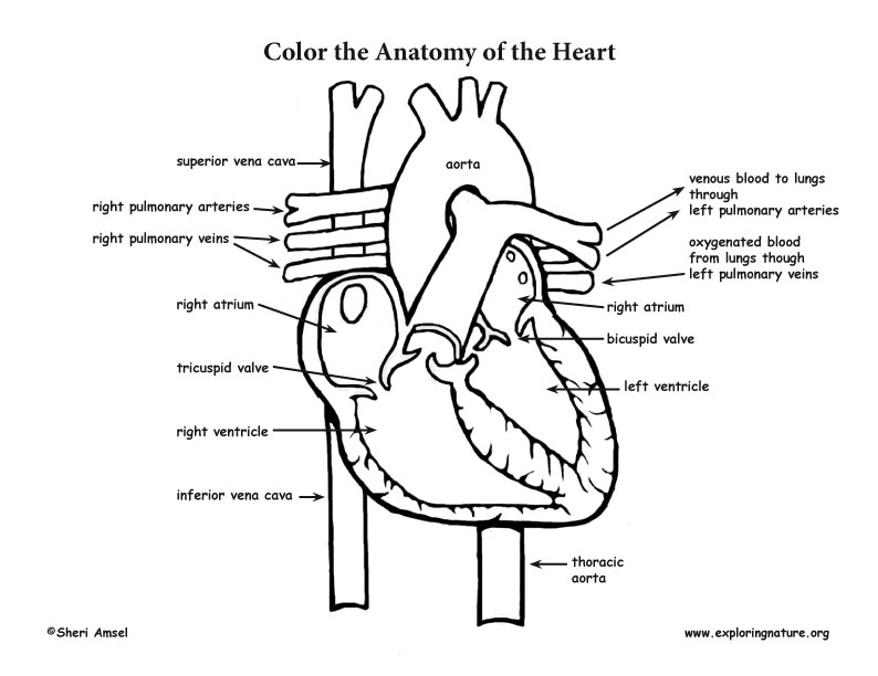 heart diagram coloring pages - photo#18
