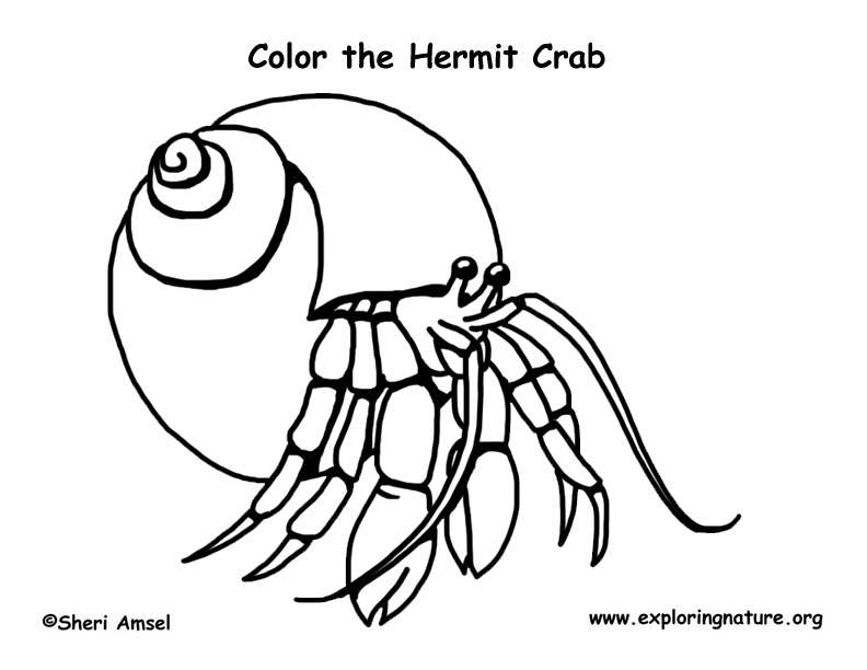 hermit crab  u2013 coloring nature