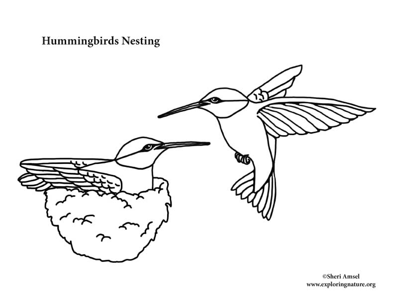 Bird In Nest Drawing at GetDrawings | Free download |Hummingbird Nest Coloring Page