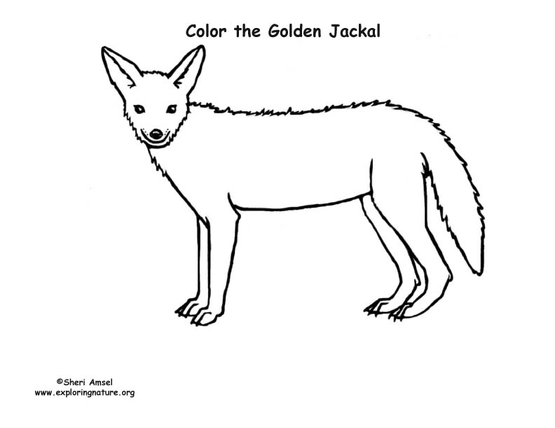 Jackal coloring page  Free Printable Coloring Pages