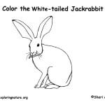 Jackrabbit (White-tailed)