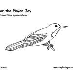 Jay (Pinyon)