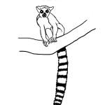 Lemur (Ring-tailed)