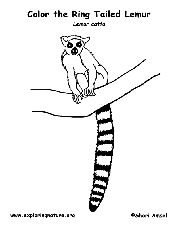 Lemur Ring Tailed Coloring Nature