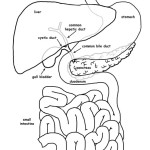 Liver Function Organs (Labeled)