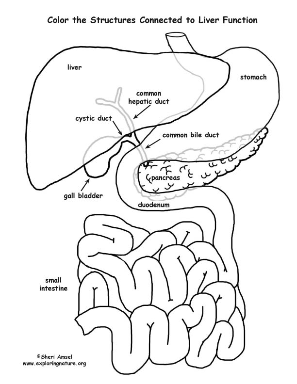 It's just a picture of Clever coloring pages human organs