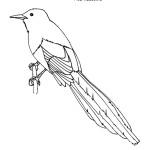 Magpie (Black-billed)
