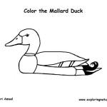 Duck – Mallard
