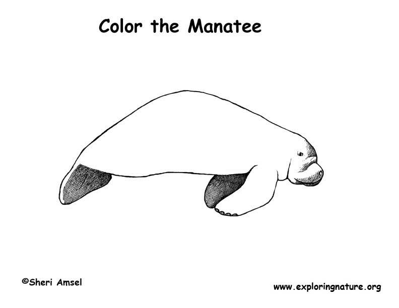 Manatee florida coloring nature for Manatee coloring pages