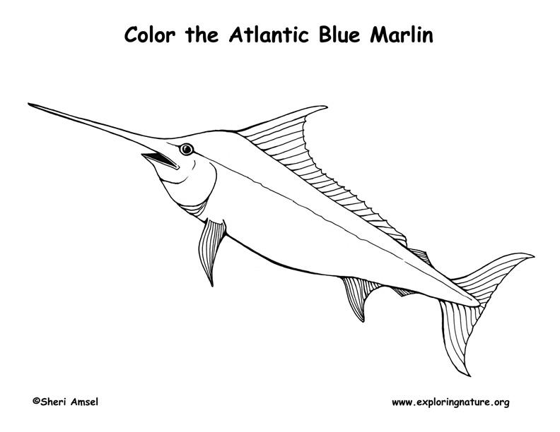 marlin � coloring nature